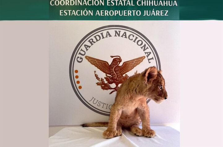 Decomisan cachorra de león africano en Juárez